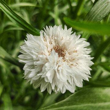 Bleuets - À Fleurs Blanches