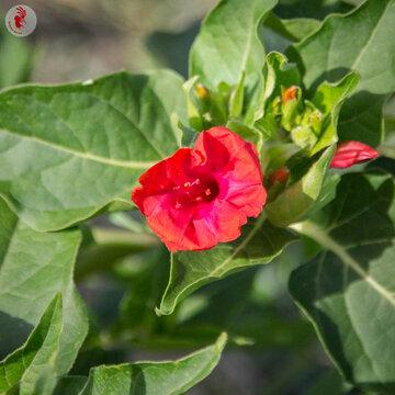 Belles de Nuit - A Fleurs Rouges