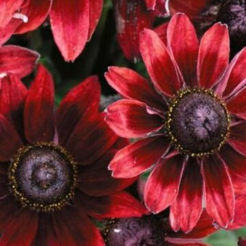 Rudbeckia - Cherry Brandy