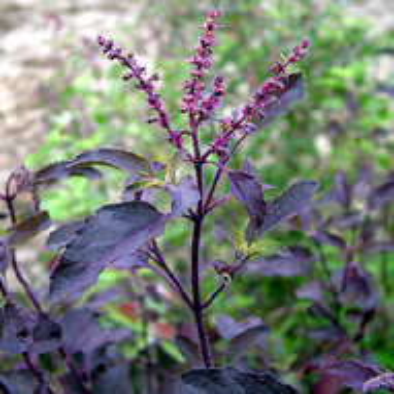 Basilics Tulsis - Tulsi Krishna à Feuilles Violettes