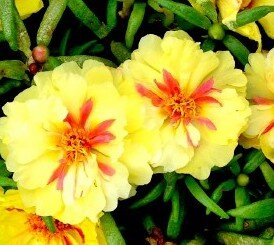 Portulaca - Happy Hour Banana