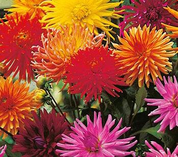 Dahlias - Mélange à Fleur de Cactus