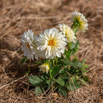 Dahlias - Figaro White