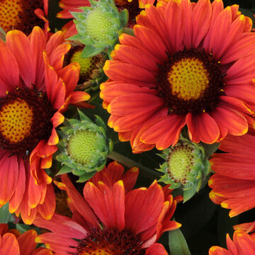Gaillardia - Arizona Red Shades