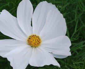 Cosmos - Sonata White