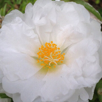 Portulaca - Happy Hour Coconut