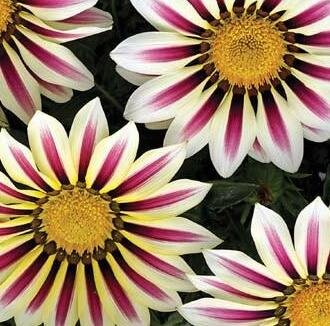 Gazania - Big Kiss White Flames