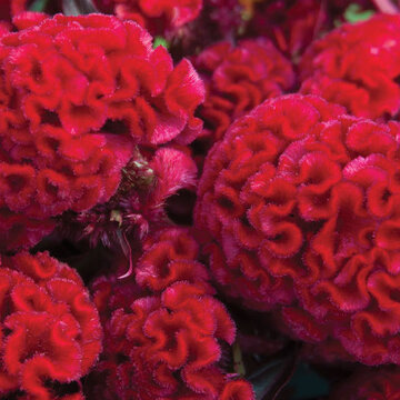 Celosia - Red Flame