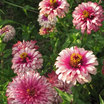 Zinnias - Standing Up