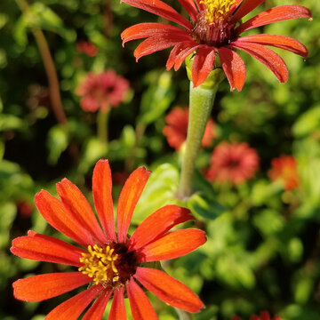 Zinnias - Red Spider