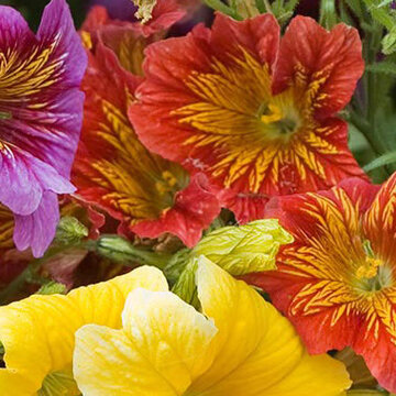 Salpiglossis - Royale Mix