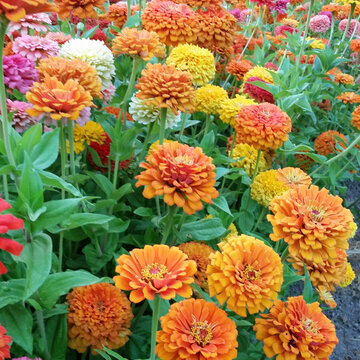 Zinnias - Jim Baggett's Choice Mix