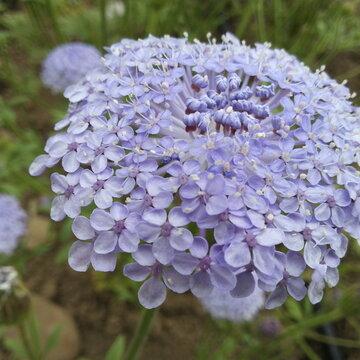 Trachymene - Lacy Blue