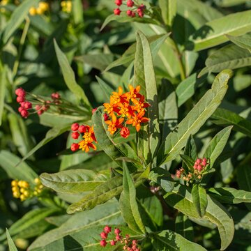 Asclepias - Silky Red