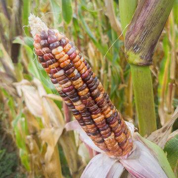 Maïs - Arc En Ciel Inca