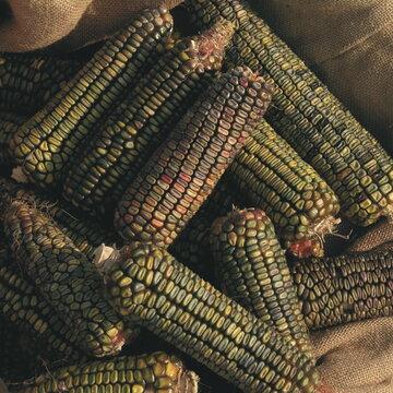 Maïs - Oaxacan Green