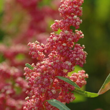 Quinoas - Cherry Vanilla