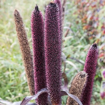 Millets - Purple Majesty