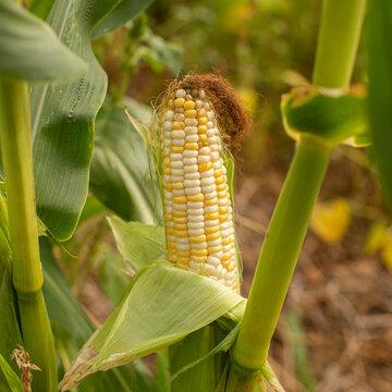 Maïs - Double Standard