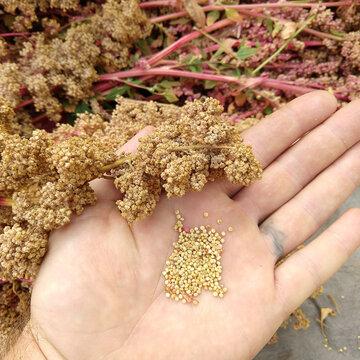 Quinoas - Appelewa