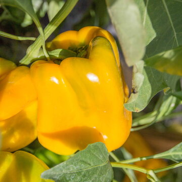 Piments/Poivrons - Yellow Monster