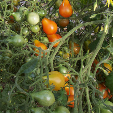 Tomates-Cerises - Red Cluster Pear Hypertress
