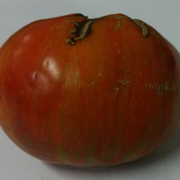 Tomates - Touquet Vert