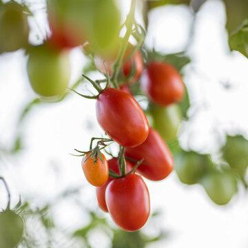 Tomates-Cerises - Santa Rainier