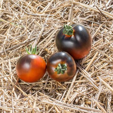 Tomates - Chestnut Chocolate