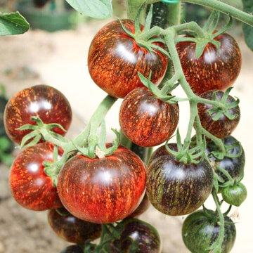 Tomates - Dark Galaxy