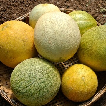 Melons - Farthest North Galia