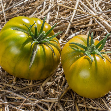 Tomates - Cherokee Green