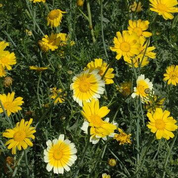 Chrysanthèmes - Double Garland