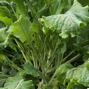 Choux Frisés / Kales - Branchu du Poitou