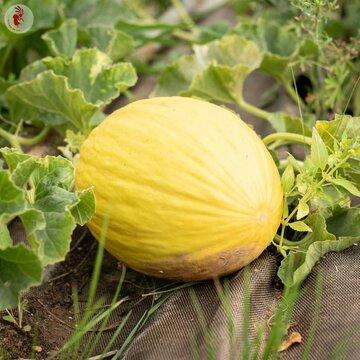 Melons - Rugoso Di Cosenza