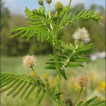 Desmanthus - Desmanthus illinoensis