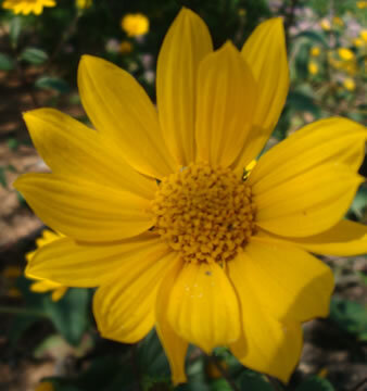 Helianthus - Helianthus occidentalis