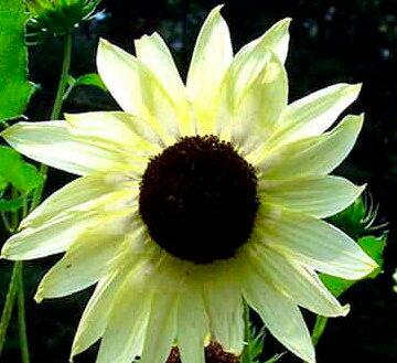 Tournesols à Fleurs - Italian White