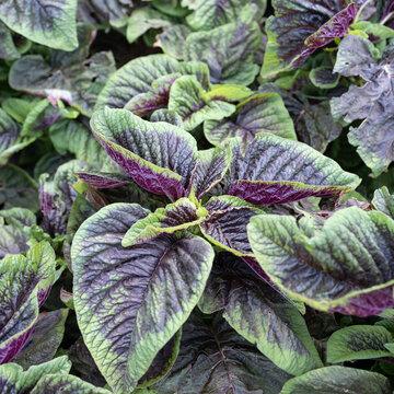 Amaranthes à Feuilles - Tricolore