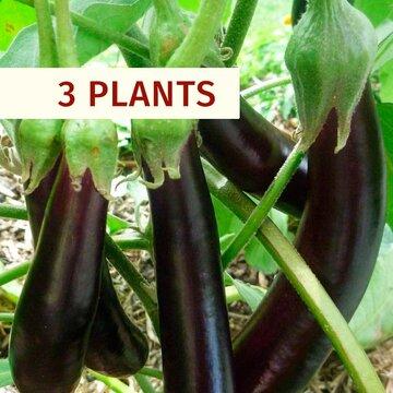 Aubergines - Plants d'Aubergine Longue Violette Hâtive