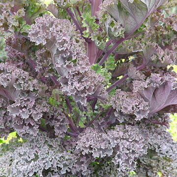 Choux Frisés / Kales - Nash Red Kale