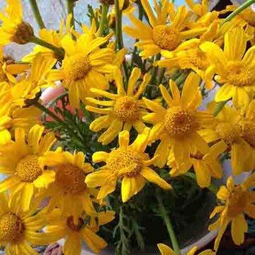 Chrysanthèmes - Shungiku à Feuilles Découpées