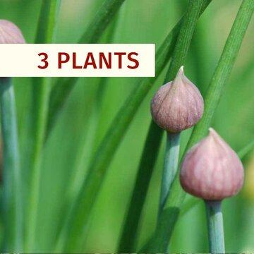 Aromatiques - Plants de Ciboulette Allium schoenoprasum