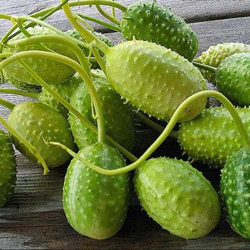 Concombres - Concombre des Antilles