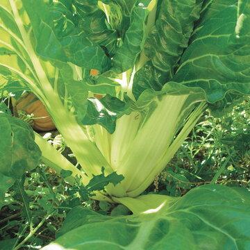 Côtes de Blette - Verte à Larges Cardes