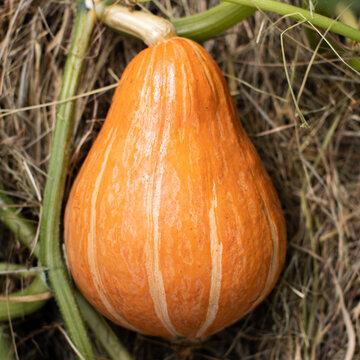 Courges Maxima - Potimarron à Gros Fruits
