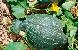 Courges Maxima - Hubbard Vert Miniature