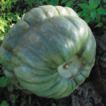 Courges Maxima - Queensland Blue