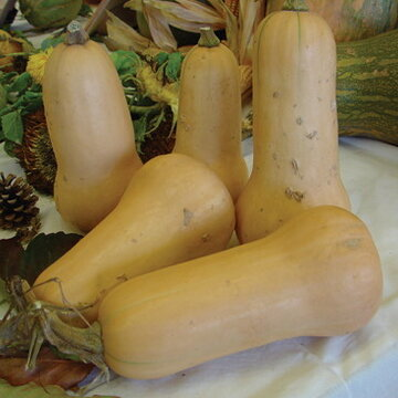 Courges Moschata - Butternut Waltham