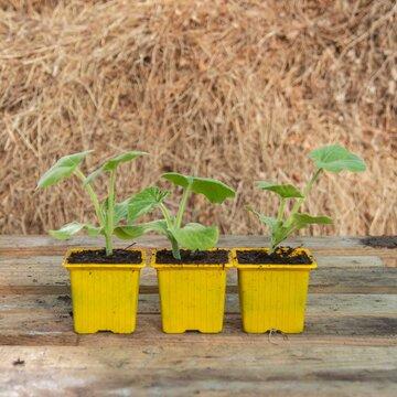 Courgettes - Plants de Courgette Nimba